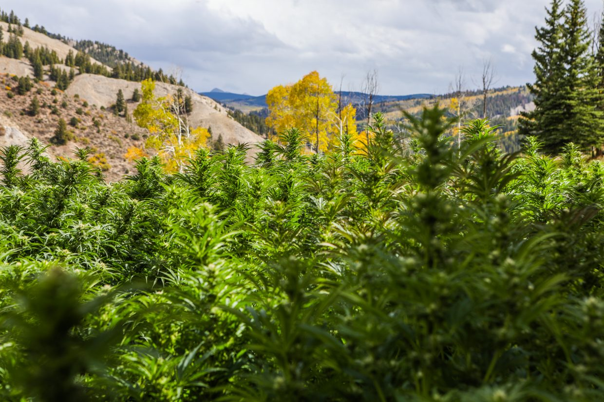Marijuana plants bask in the sun at the Pot Zero outdoor grow facility Friday, Sept. 22, outside Gypsum. The grow facility is 100 percent sustainable with a zero carbon footprint. Fertilizer is used from their cows on property, which they saw