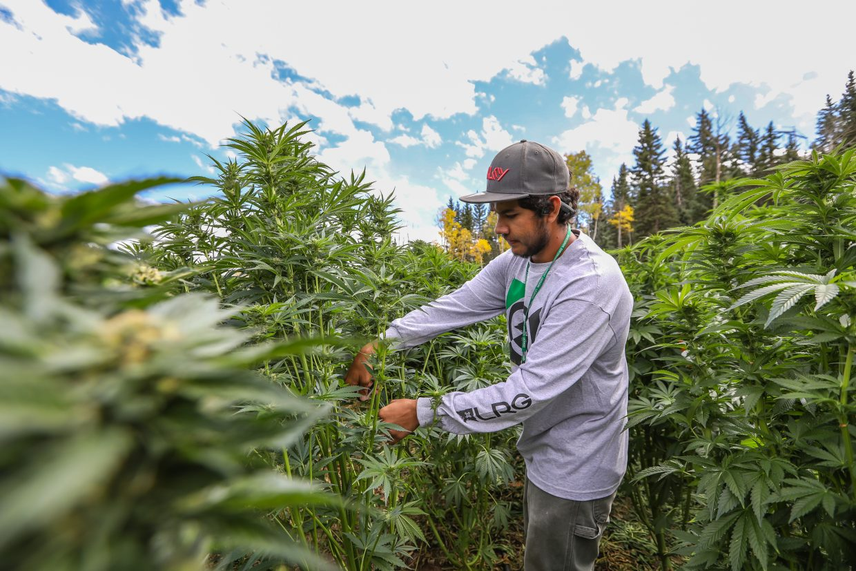 Beto Chanez trims leaves off marijuana plants at the Pot Zero grow facility Friday, Sept. 22, in Gypsum. The plants are flowering and workers are getting ready to harvest the flowering buds of the plant.