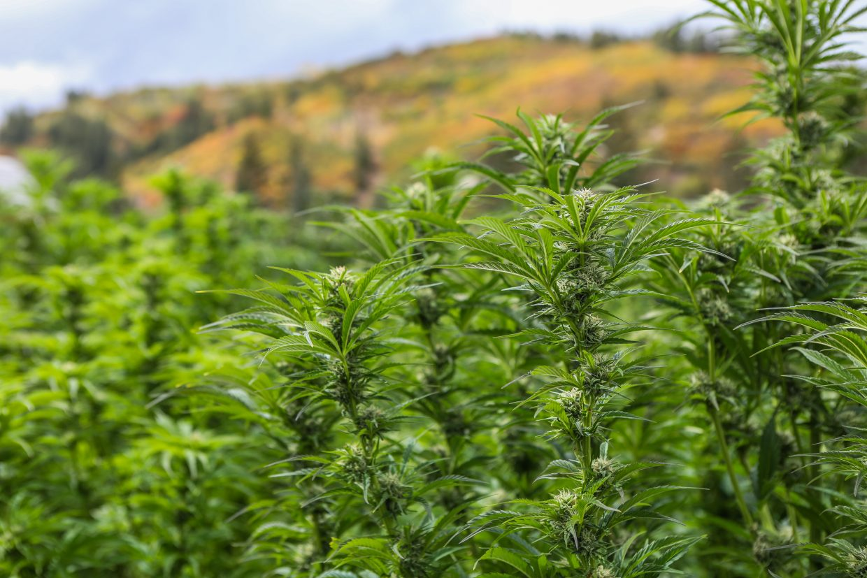 The green of marijuana plants collides with colors of foliage on hillsides above at the Pot Zero grow facility Friday, Sept. 22, in Gypsum. It's the third season the ranchers have been growing marijuana on the property.