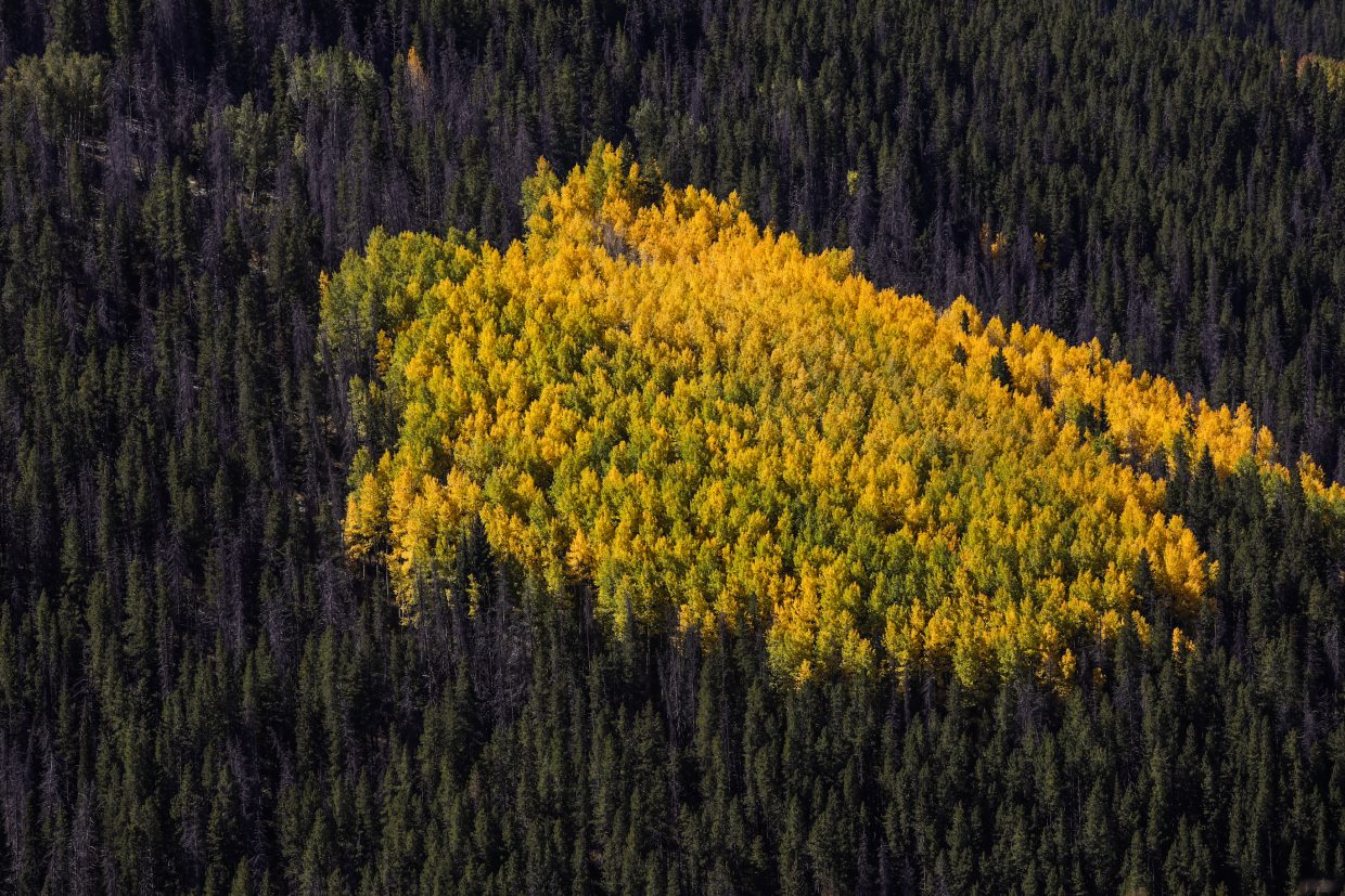 Pocket of aspens in color off Game Creek Bowl in Vail.