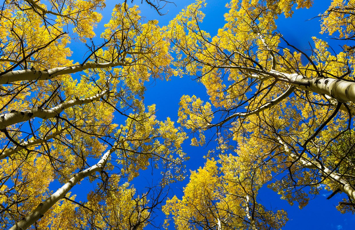 Aspens in full color peak with contrast from the blue-bird sky Monday, Sept. 25, on the Spraddle Creek Trail in Vail. Color throughout the Vail Valley is nearing peak, which should last through the weekend. It is also the last weekend for the Vail Farmers' Market & Art Show, as well as scenic gondola rides in Lionshead and Vail Village.