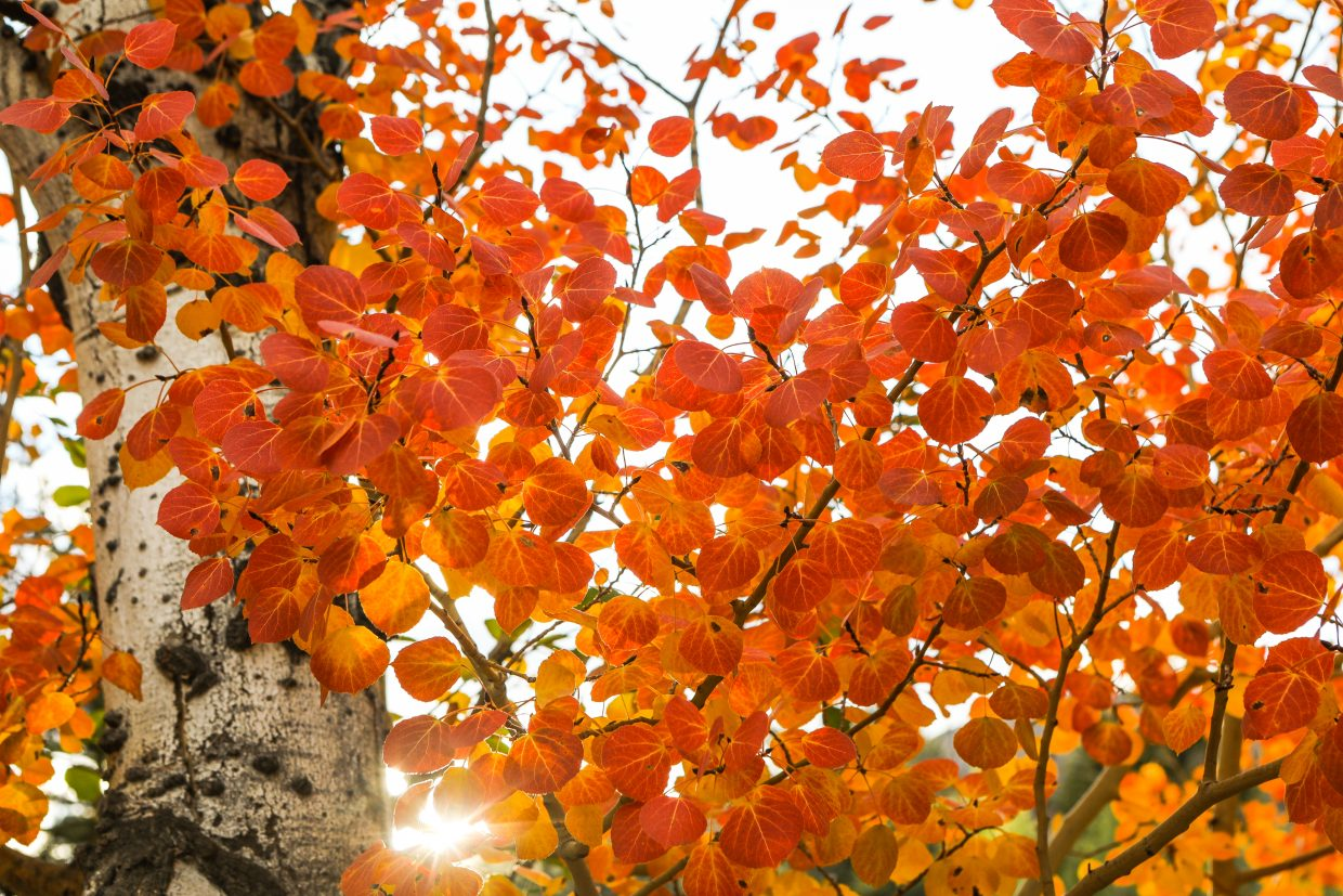 Aspen leaves glow red and orange as the sun sets Thursday, Sept. 28, in Edwards. Leaves are changing quickly, and viewing won't last much longer.