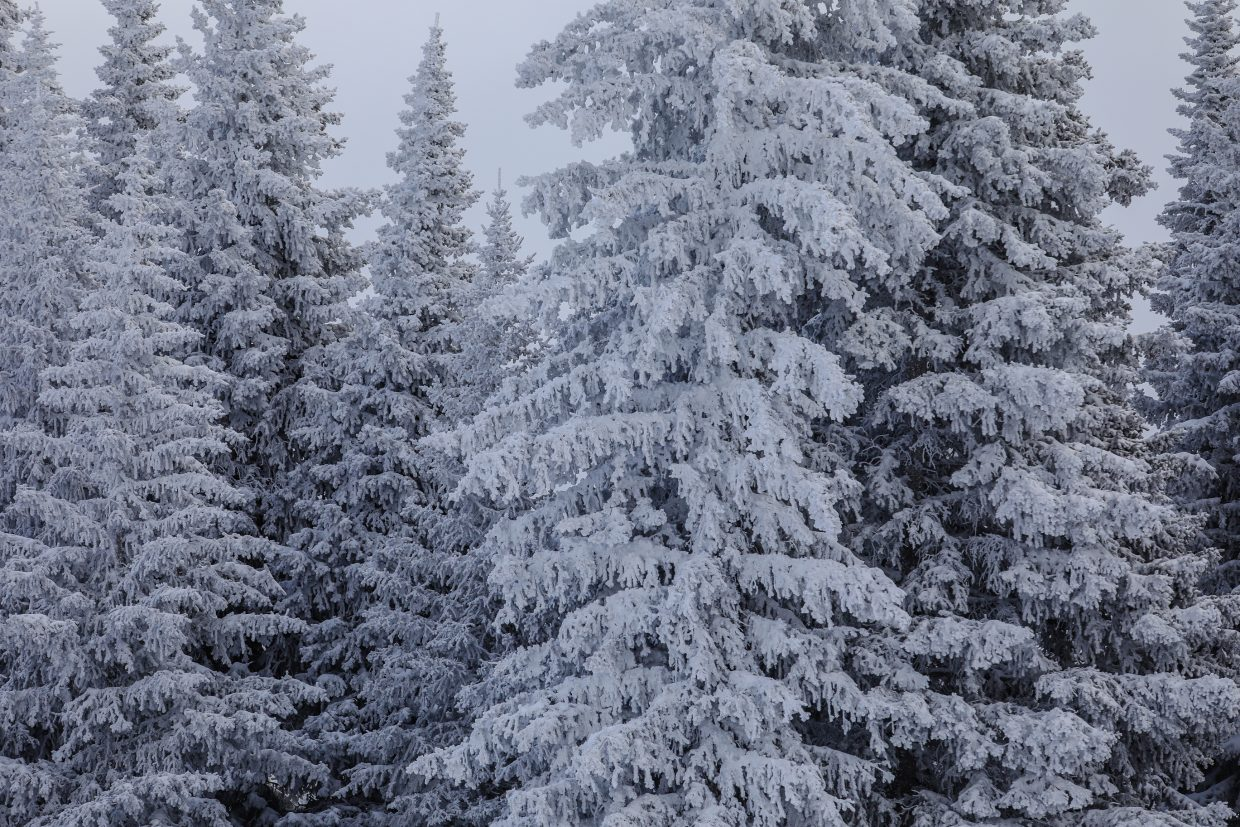 Trees are coated in white as the latest storm wrapped up in the Vail Valley on Saturday, Jan. 13, in Vail. Vail has reported nearly two feet in the last week.