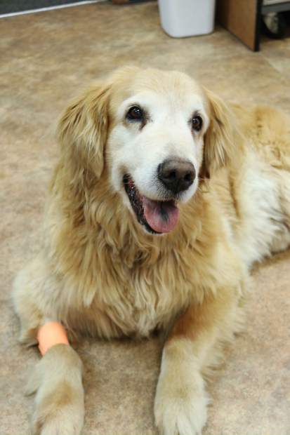 Stem cell therapy at Gypsum Animal Hospital is meant to help dogs who suffer from arthritis and other pains, such as Henry, and also cats.