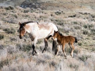 photo - mare and foal roam Sand Wash Basin