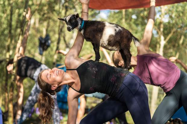 The hour-long goat yoga classes at Vail Stables are for yogis of all ability levels, and animal lovers.