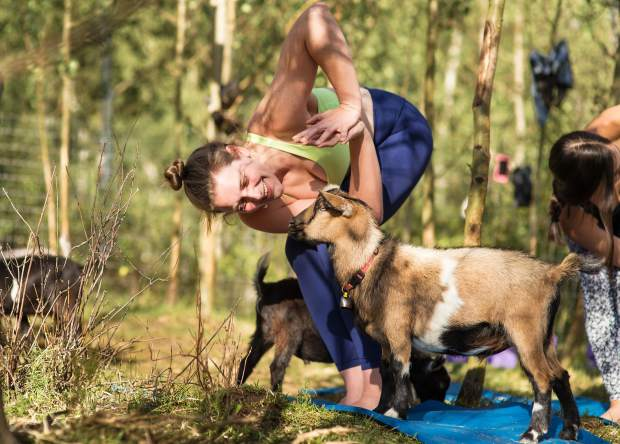 Adding goats with yoga makes for an extra component that isn't found in traditional yoga classes.