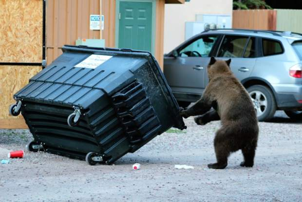 The adage that garbage kills wildlife can be misleading. It's not so much the content of the garbage that hurts the bear as the fact that it's losing its natural fear of humans. The Colorado Parks & Wildlife's priority is protecting human safety and practices a two-strike policy on bears before putting them down.