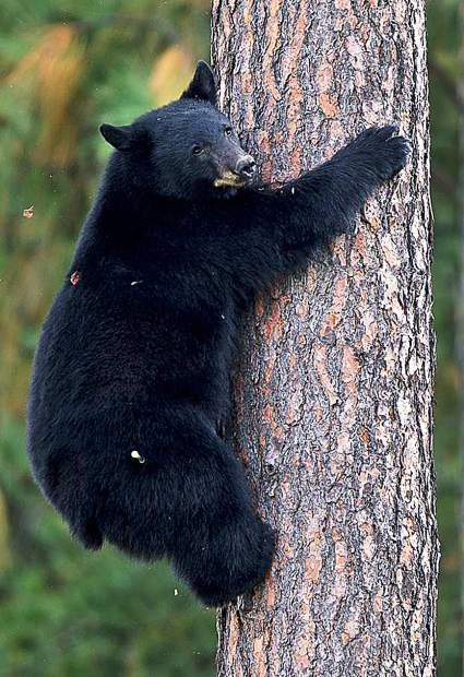 Bears are attracted to food, and anything that smells like food. That includes toiletries, sunscreen and clothes worn while grilling or cooking.