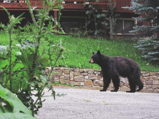 Bear attacks on humans are rare, but If a bear does attack, then do not play dead. Fight back with anything available.