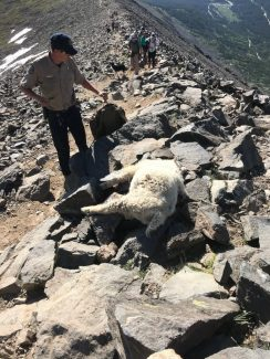 Colorado Parks and Wildlife, goats, Quandary Peak
