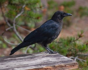 Curious Nature: Crows are curious, creative creatures to be admired