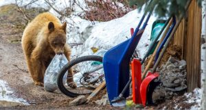 1st bear killed by wildlife officers in Colorado after relocation from Steamboat