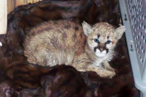 Mountain lion sickened by bratwurst released into the wild