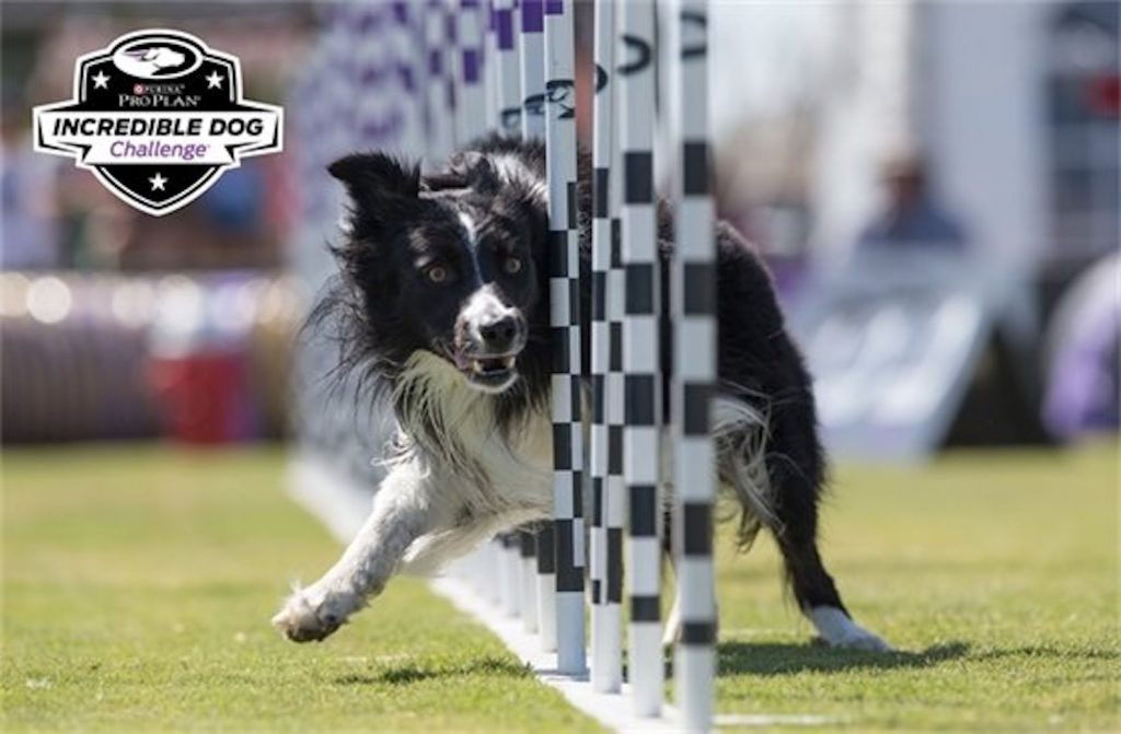Various breeds of dogs will head to Nottingham Park in Avon to compete in the Purina Pro Plan Incredible Dog Challenge.