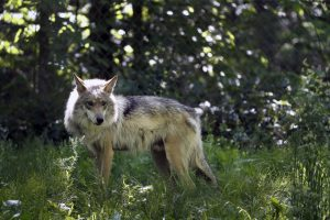 Colorado question pitting ranchers against wolf advocates is heading for supermarket parking lots