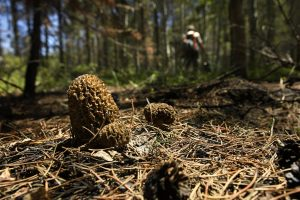 Rare burn morel mushrooms popping up in Colorado