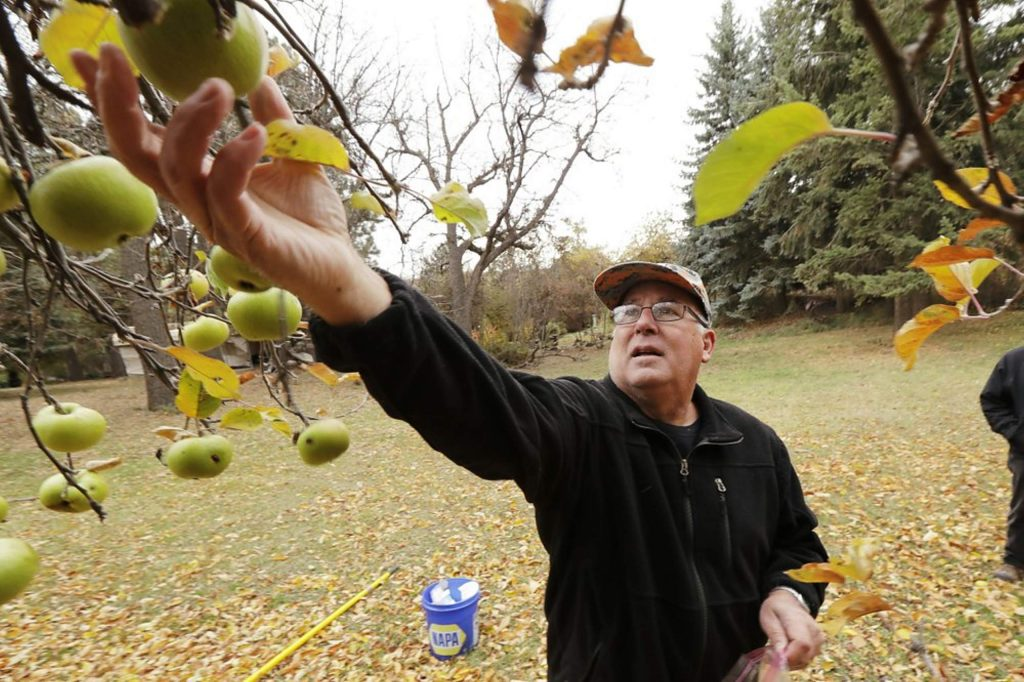 Amateur botanist David Benscoter, of The Lost Apple Project, picks an apple that may be of the Clarke variety in an orchard near Pullman, Wash.