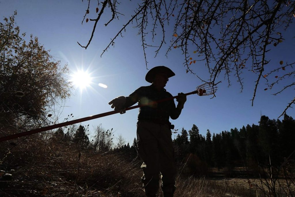 David Benscoter, of The Lost Apple Project, holds a pole picker as he stands near an apple tree in an orchard in the Steptoe Butte area near Colfax, Wash.