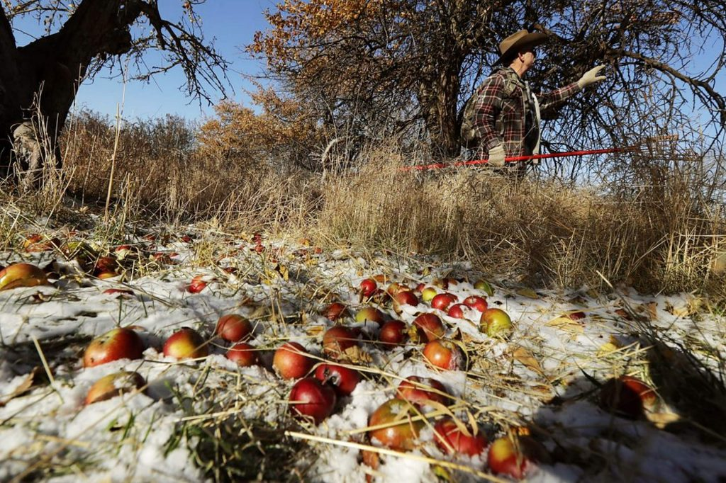 E.J. Brandt examines an apple tree in an orchard near Moscow, Idaho.