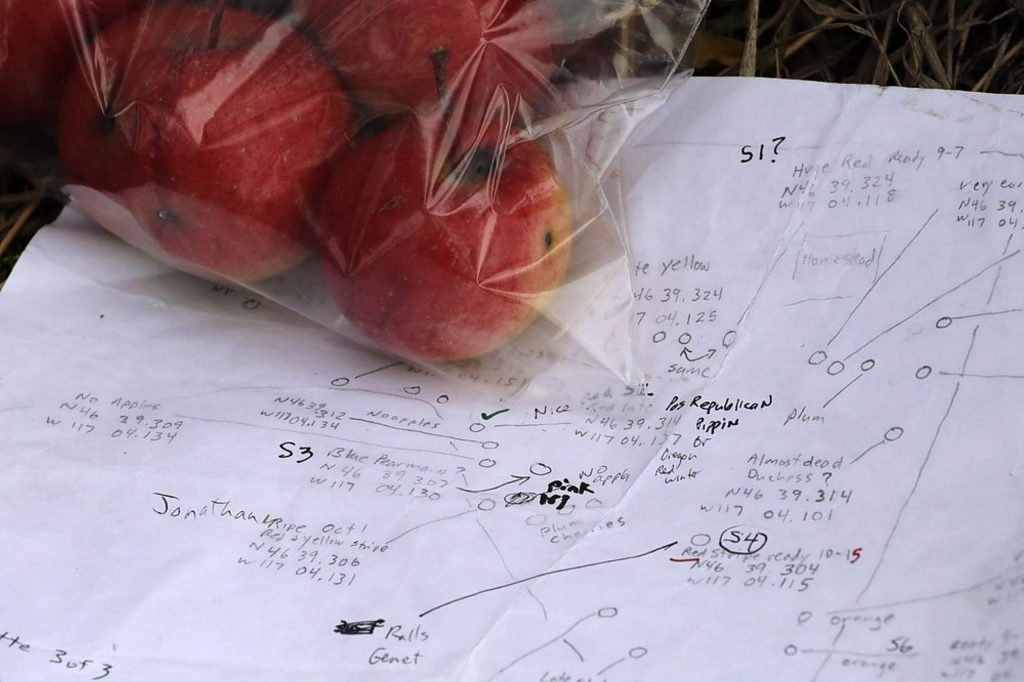 Apples collected from an orchard at a remote homestead near Pullman, Wash., are shown next to detailed field notes made by David Benscoter.