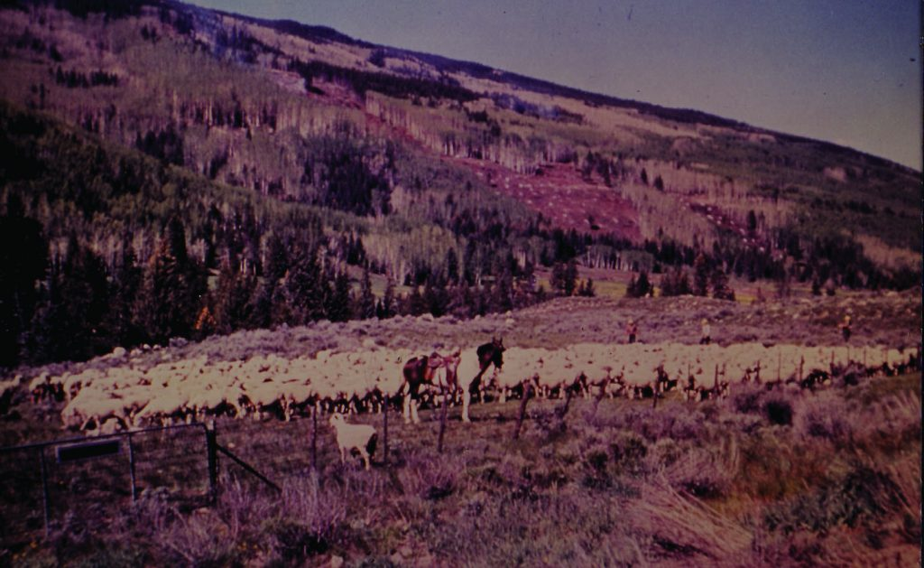 While Vail was being built, local ranchers kept running livestock in the area.