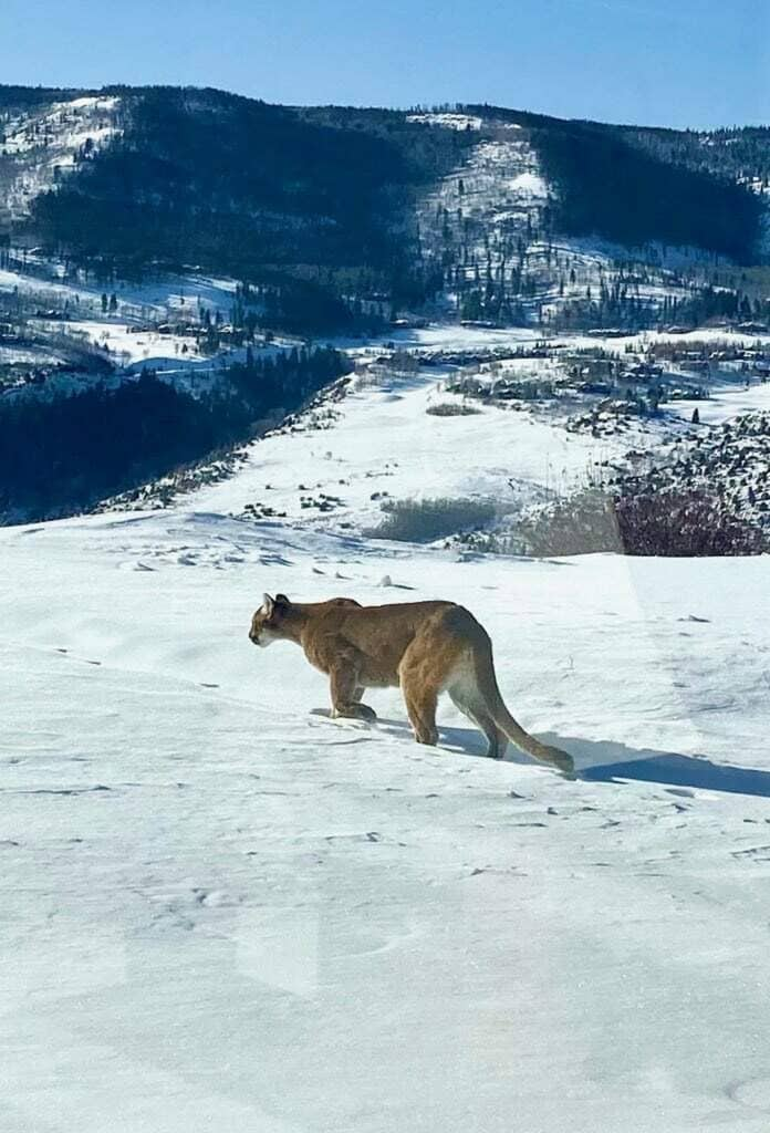 This mountain lion was recently spotted in the Cordillera area.