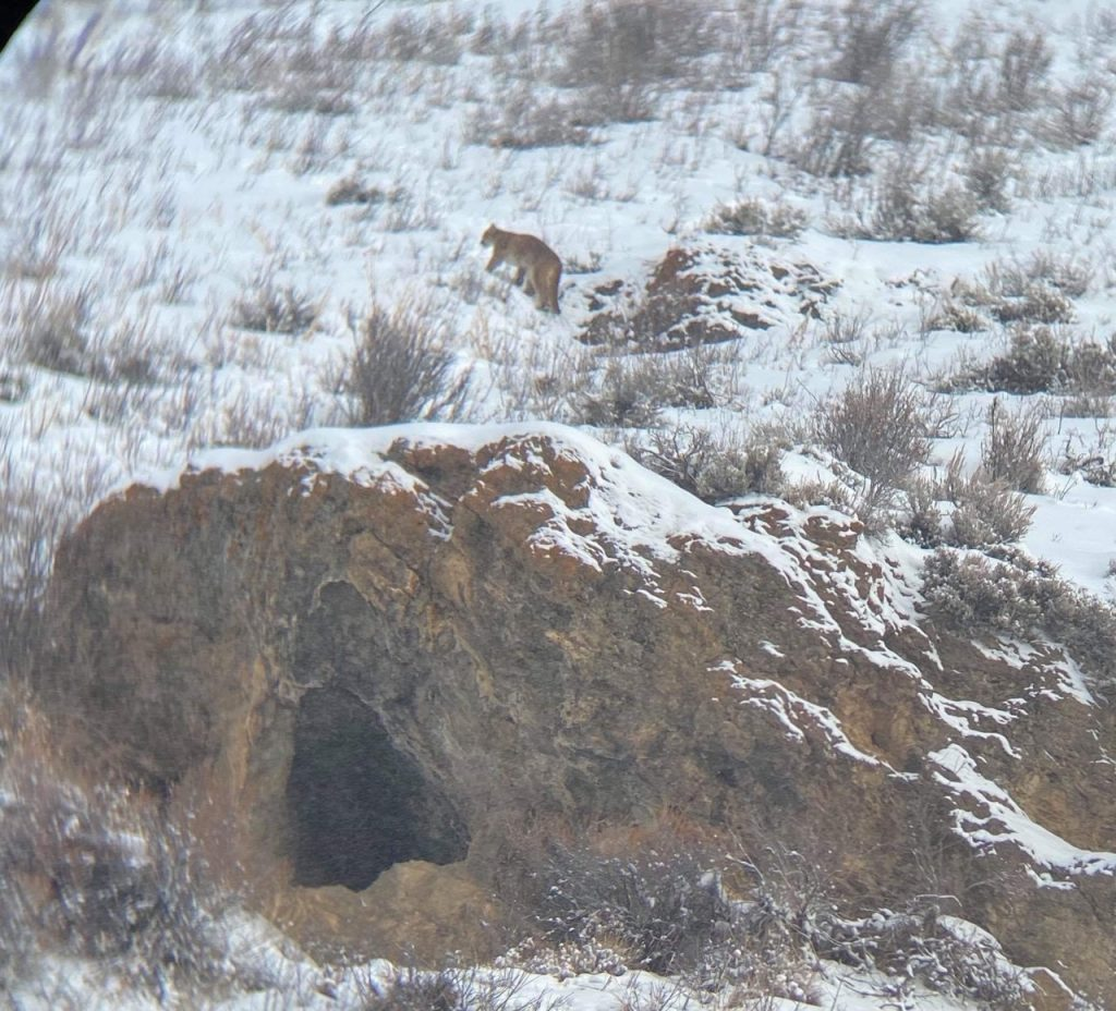 A mountain lion ventures up a hillside in the Red Cliff area.