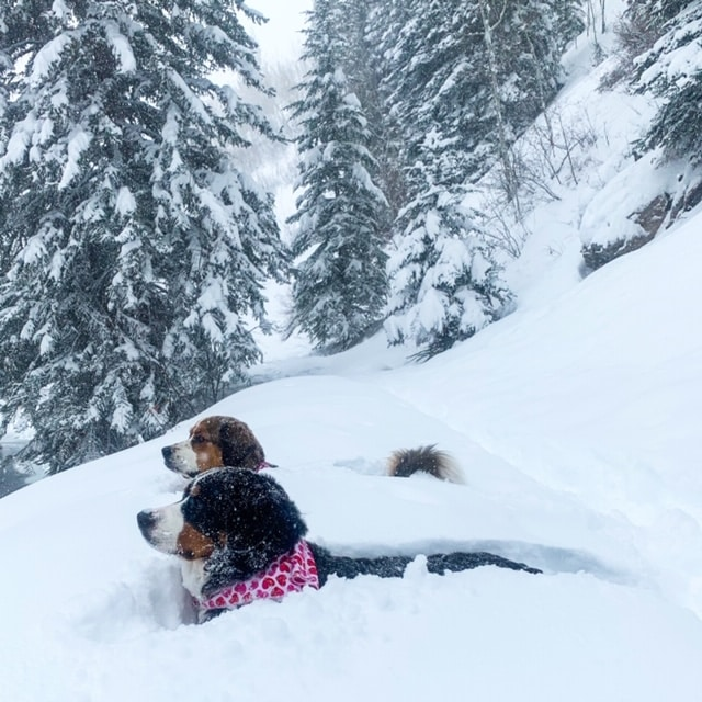 Mindy Pannell sent this photo of her two dogs, August and Maisie, wading into the powder at Stephens Park in West Vail. Friday could see another 10-12 inches of snow before a break in the storm Saturday.