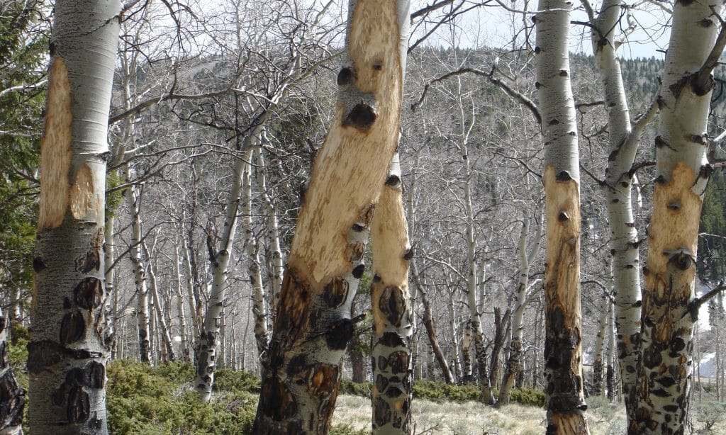 An aspen grove with feeding damage by elk. Elk feed on aspen bark in their winter range. This photograph is from late May following the winter in which it occurred. Below the fresh wounds are partly black, callused wounds from feeding in previous years.