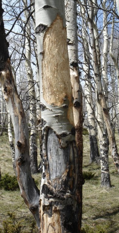 Elk feed on aspen bark in their winter range. This photograph is from late May following the winter in which it occurred. Teeth marks are visible on the wood surface. Below the fresh wounds are darker, callused wounds from feeding in previous years.