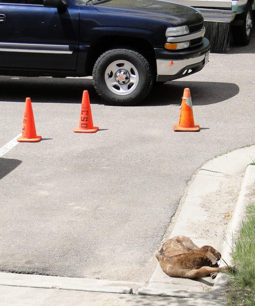 Even though this elk calf is resting in a parking lot, it's fine. Young wild animals almost never need help from humans, and human intervention often does more harm than good, says Colorado Parks and Wildlife.