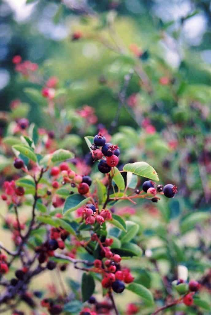 The serviceberry, also called saskatoon or bearberry, has long been used as a staple food for humans and wildlife alike. The drought resistant roots and cold resiliency make this shrub perfect for our Rocky Mountain climate.