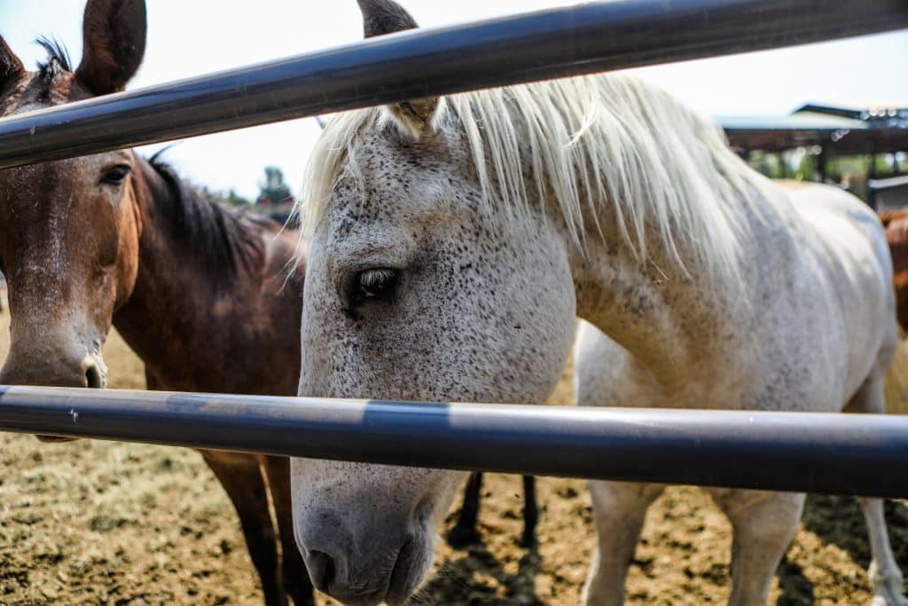 Horses and mules hang out at the Eagle County Fairgrounds after being evacuated from the Grizzly Creek Fire Saturday in Eagle.