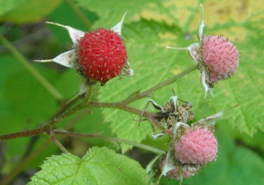 Thimbleberries begin to make their appearance in late July, notable from the fragrant smell of the berries and the flowers. Large, fuzzy, palmate leaves with white flowers give the plant away. The berries will be a bright red by the end of summer, and are best for eating straight from the plant.