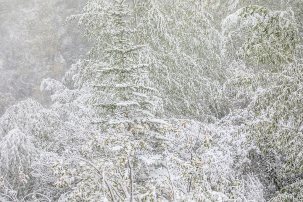 Snow coats the trees in Minturn.