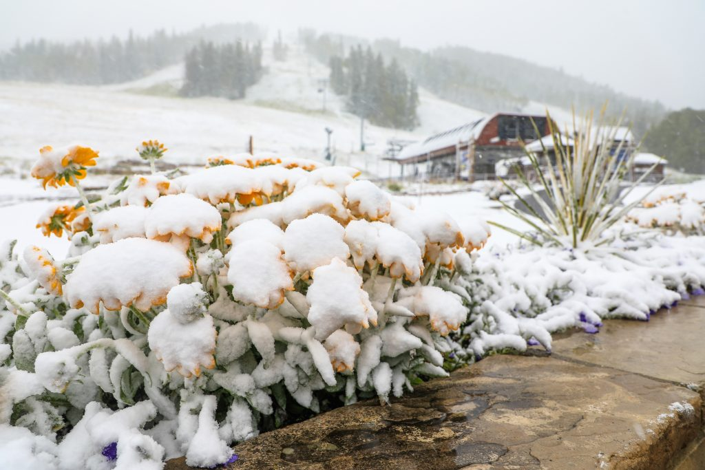 Flowers begin to be covered by snow at Beaver Creek.