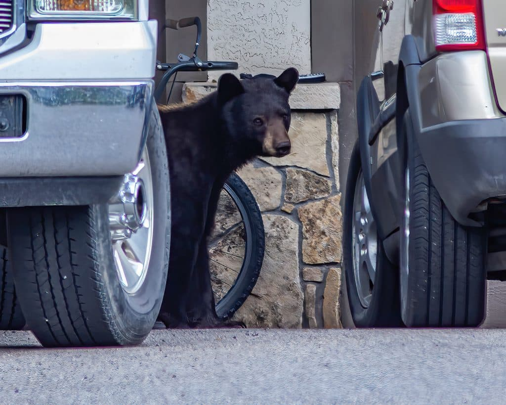 Black bears explore residential areas looking for food left out by residents.