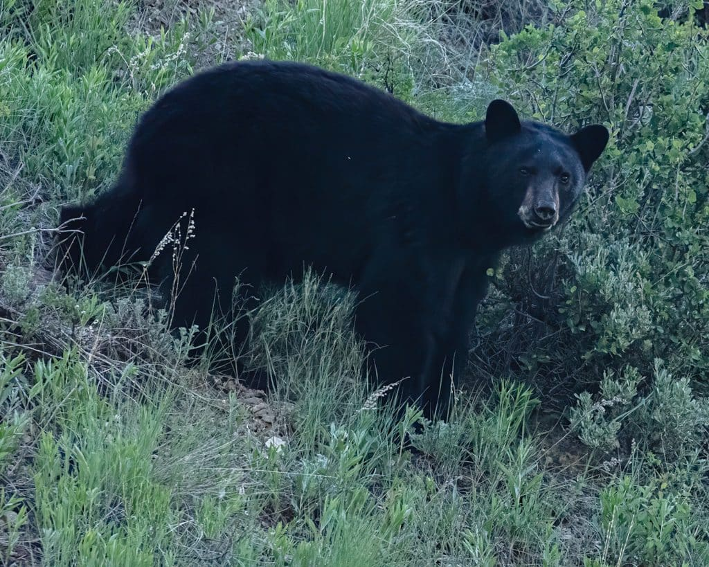 There are approximately 10,000-12,000 black bears in the state of Colorado.