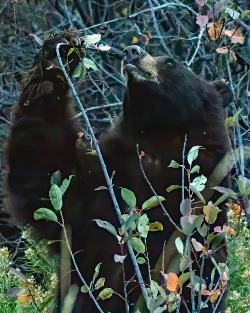 A black bear's natural food includes ripe berries, apples, carrion and other wild foods.