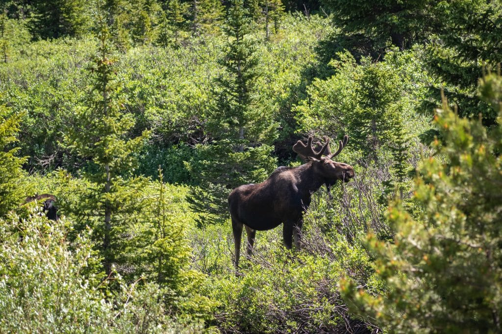 A bull moose browses for food in a forest. In September and October, a bull moose's bellows can be heard for miles as they search feverishly for mates.